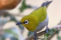 Daftar Harga Burung Pleci Lengkap Terbaru 2019