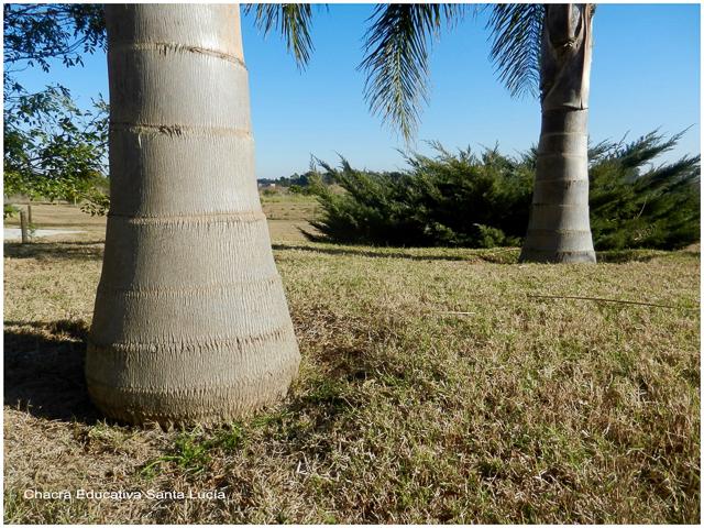 Troncos de palmeras pindó - Chacra Educativa Santa Lucía