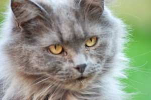 MISSING PERSIAN STYLE CAT CAN YOU HELP? 01733 345581 >CLICK ON PICTURE