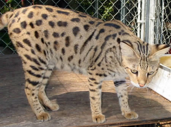 Savannah = Serval + Domestic Cat