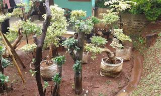 Jual Pohon Bouganville,Jual Pohon Bunga Kertas,Jual Bonsai Boeganville