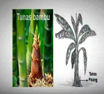 Perkembangbiakan Vegetatif Tumbuhan Angiospermae