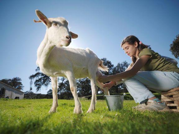 susu kambing segar untuk ibu mengandung