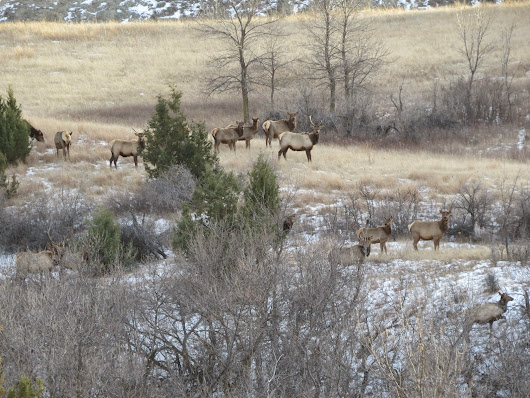 Christmas elk in the badlands