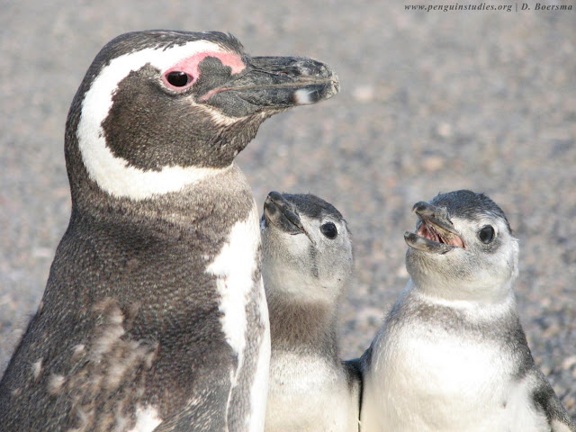 How natural selection acted on one penguin species over the past quarter century