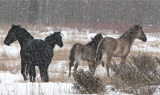 Journal of Ravenseyrie: PZP, Castration and Horse/Human Relationships