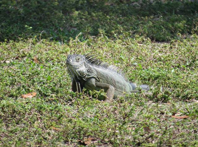 Common Green Iguana - Topeekeegee Yugnee Country Park, Florida