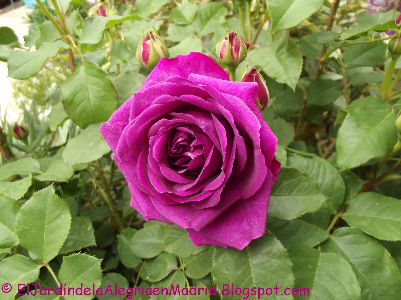 El jard n de la alegr a rosa 39 munstead wood 39 el brillo for Jardin rosa alcoy