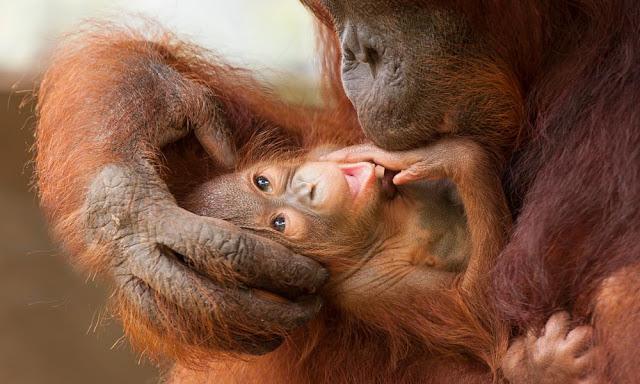Wild orangutan teeth provide insight into human breast-feeding evolution