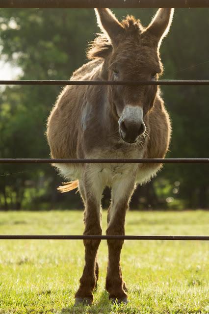 Donkey, Sugar Ridge Road