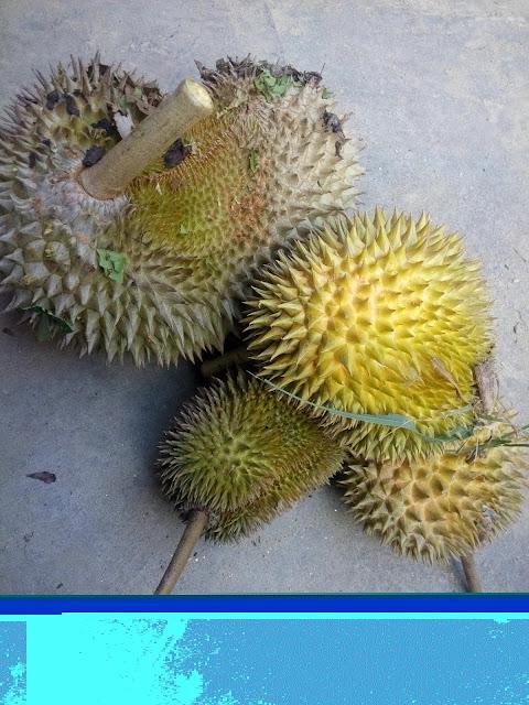 Durian murah air terjun sedim Durian murah dan sedap dari kampung sedim