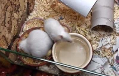 Budidaya Tikus Putih Omzet Jutaan Rupiah