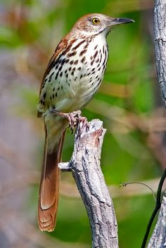 brown thrasher song