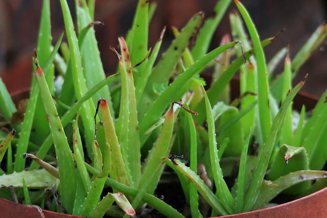 aloe vera halamang gamot sa eczema