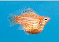 Ikan Hias Air Tawar Jenis Balon kuning