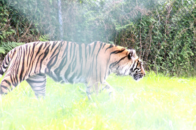 west midlands safari park, bengal tiger, endangered animals, wild animals, day out, animal lover