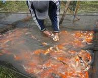 proses sortir Ikan Koi Blitar