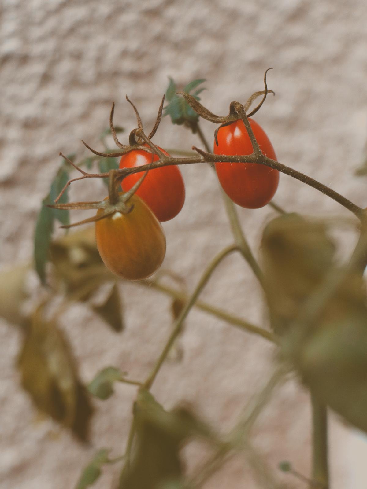 tomates cereja no pé