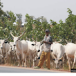 I Don't Want To See Your Cattles Anywhere Near Abuja, FCt Minister To Herdsmen
