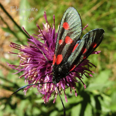 Spotted burnet moth