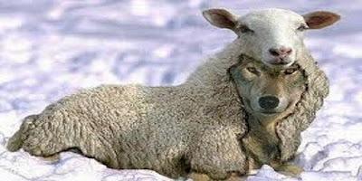 un lup îmbrăcat în oaie... - așa îi descrie Biblia pe cei care sunt învățători sau proroci falși