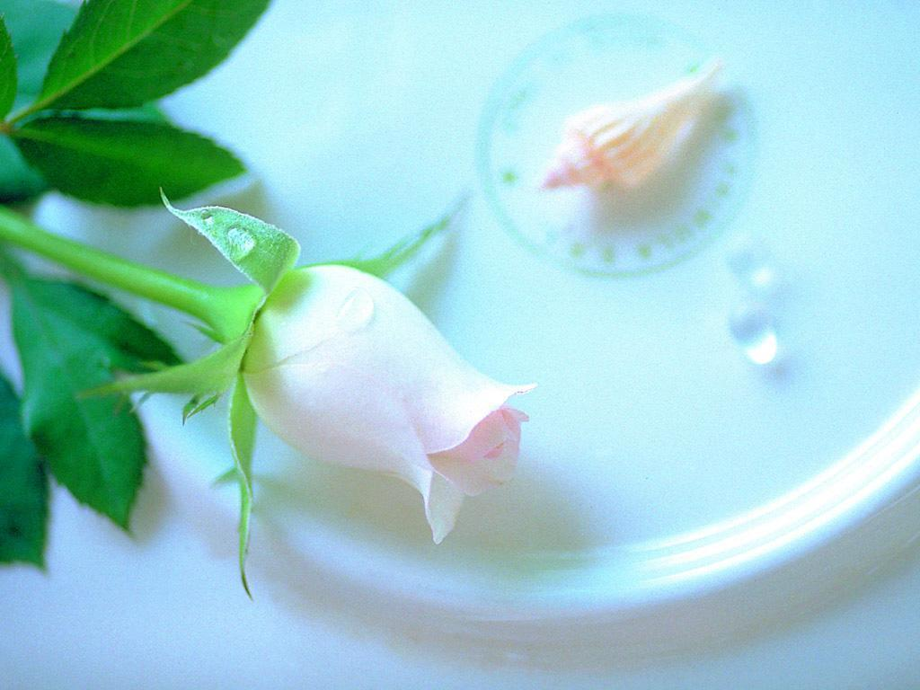 Single Rose Wallpapers: Best White Rose Flowers Wallpapers