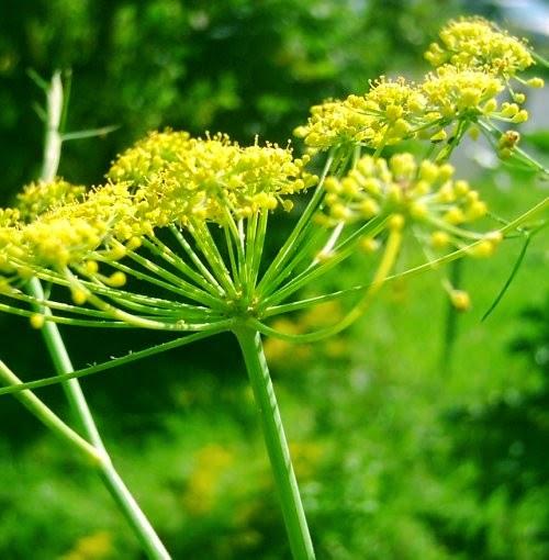 Native Edible Plants Australia: Edible Wild Plants Found By The Sea – Fennel
