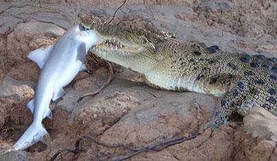 Alligator vs shark attacks - photo#38