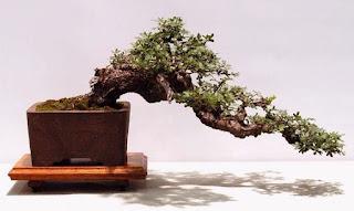 Semi cascade Bonsai style (Han-kengai)