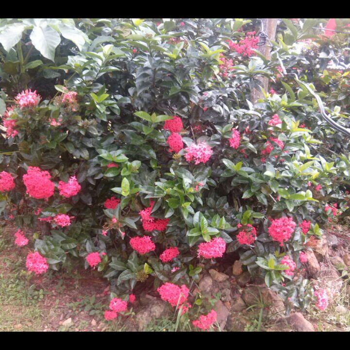 plantas de panam