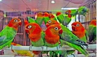 Harga Love Bird Biola Terbaru Pasaran Anakan Dewasa Jantan dan Betina