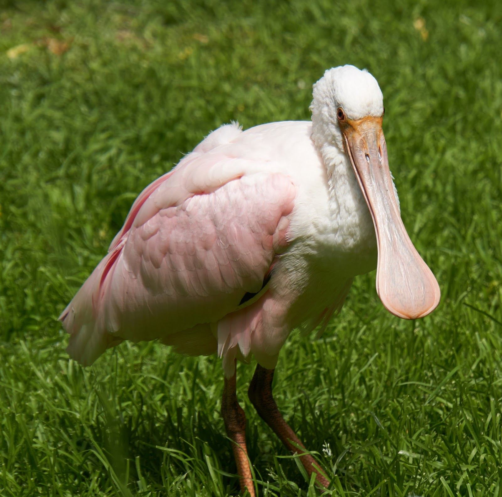 Picture of a roseate spoonbill bird.