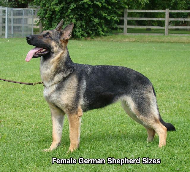 Female German Shepherd Sizes