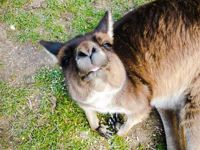 ginormous kangaroo
