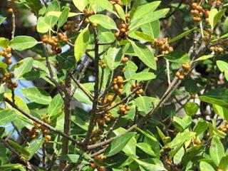 florida strangler fig fruit images