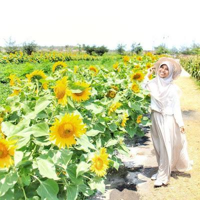 Ini Lokasi Kebun Bunga Matahari Bantul, Spot Foto Yang Lagi Booming
