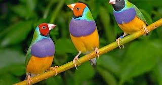 Inilah 5 Jenis Burung finch Yang Populer