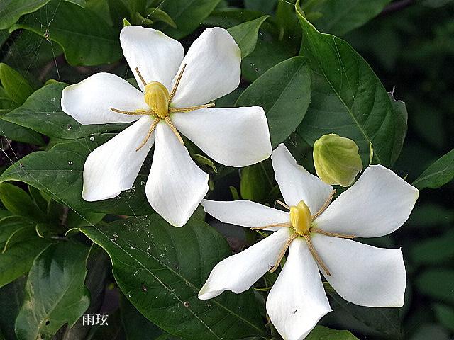 山黃梔(單瓣梔子花)/Cape Jasmine @ 雨玹 :: 痞客邦
