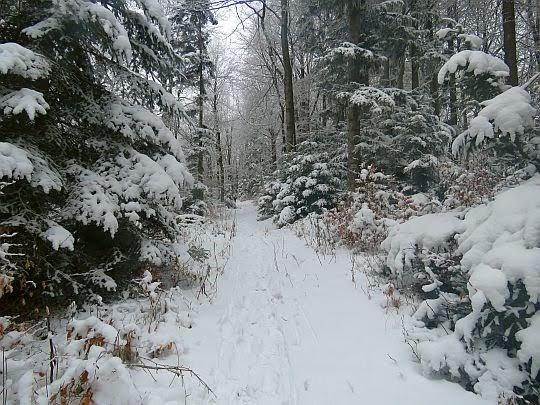 Leśna różnorodność Śnieżnicy.