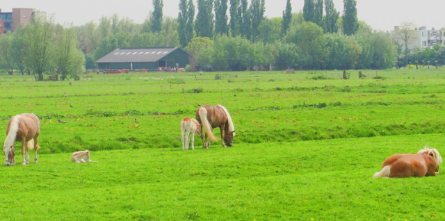 Watch the horses in the Netherlands