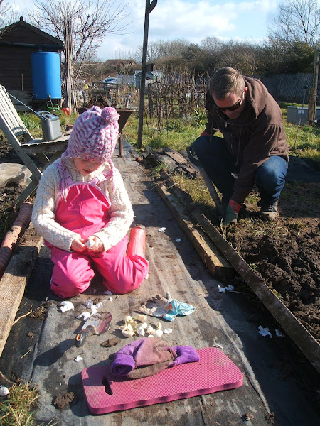 plating onions and garlic on the allotment