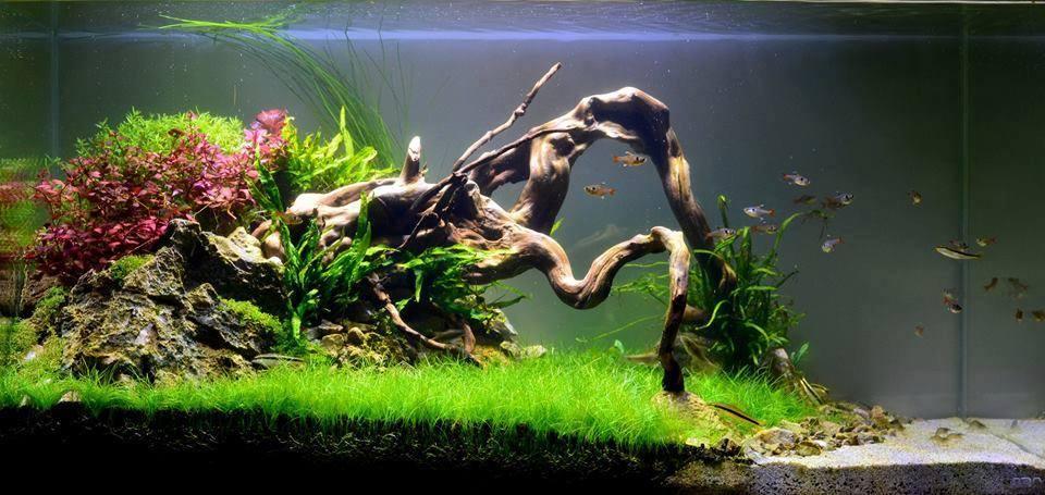 Một hồ thủy sinh hoàn chỉnh có cây cỏ cọp