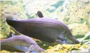 Ikan belida Predator