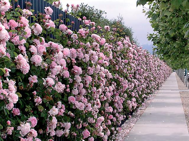 Hàng rào hoa hồng tím