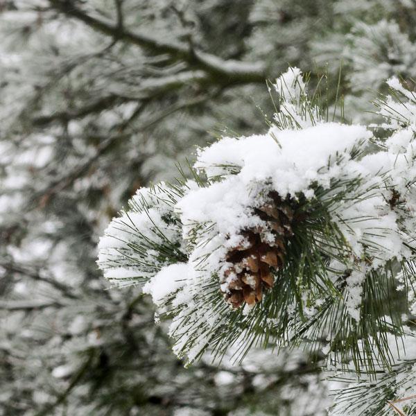 Winter, schneebedeckter Kiefernzweig mit Tannenzapfen