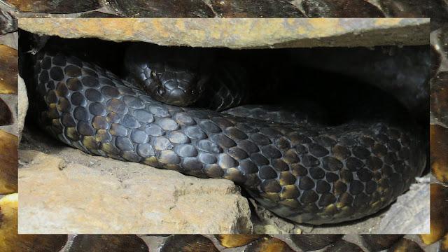 Bonorong Wildlife Park - Tiger Snake