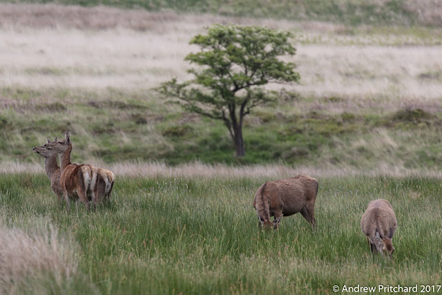 A group of hinds grazing close to nearby woodland.