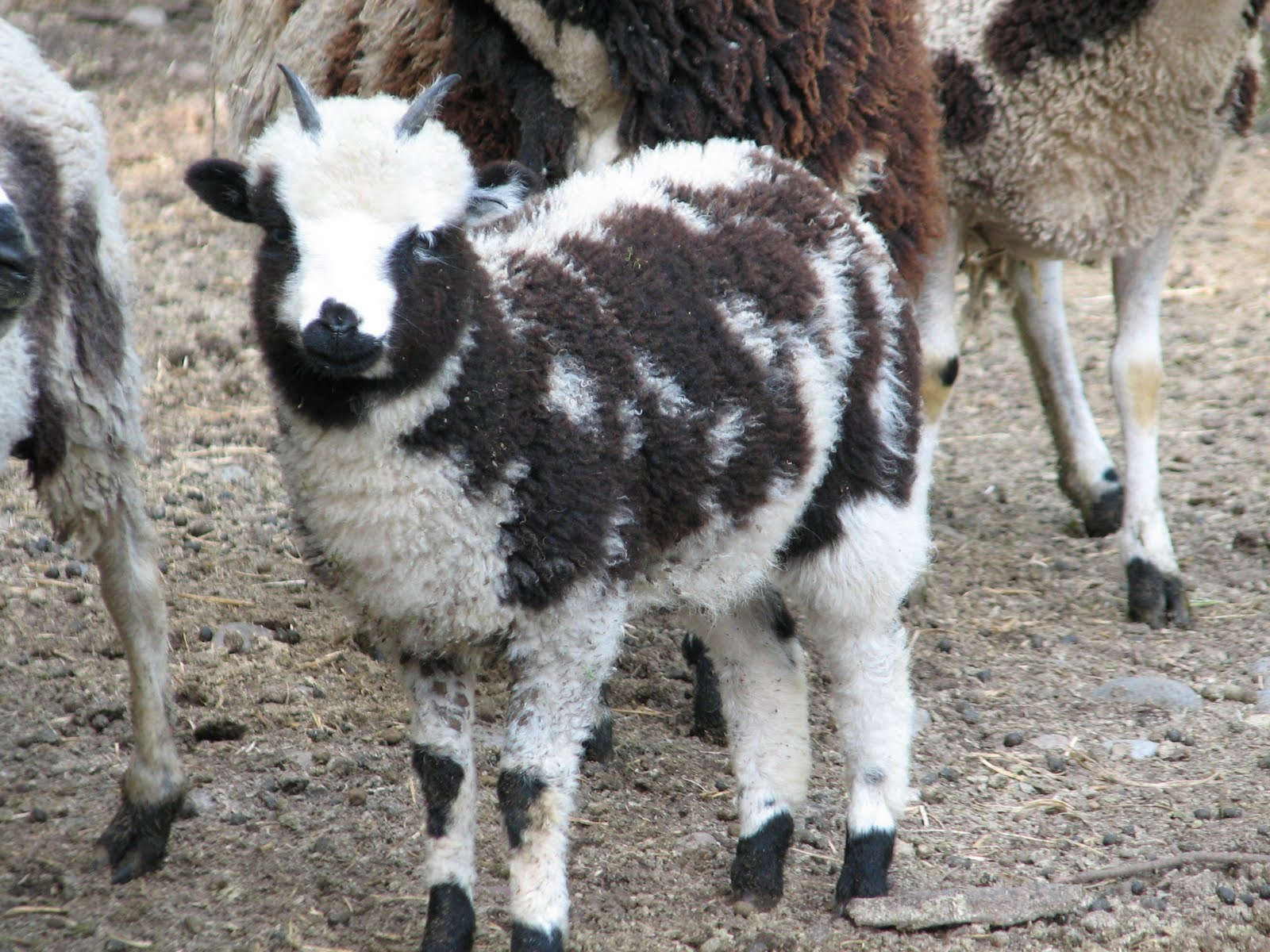 spotted_sheep