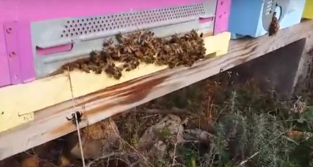 Μελίσσι κρατάει άμυνα όταν εισβάλλουν για να του κλέψουν το μέλι: Είναι ιταλικής φυλής!