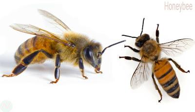 Honeybee, Honeybee insect,মৌমাছি